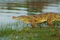 Crocodile, Selous Game Reserve, Tanzania