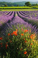 Poppies in Lavender field, Provence, France