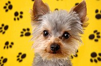 Portrait of a Yorkie dog
