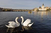 Cisnes en el ri´o Moldava; Praga; Republica Checa