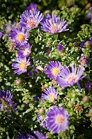 Purple Aster blossoms detail