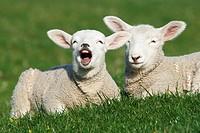 Lämmer  Hausschafe , Ovis aries, Schleswig-Holstein  Deutschland , Lambs  Domestic Cheaps , Ovis aries, Schleswig-Holstein  Germany