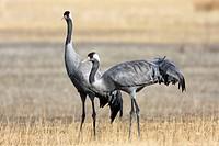 Common cranes, Grus grus, at Gallocanta  Aragon, Spain