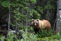 Grizzlybär / Grizzly Bear / Ursus artos horribilis / Kluane-Nationalpark, Kluane National Park and Reserve, Kanada, Canada, USA
