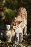 Eurasischer Luchs / Eurasian Lynx / Lynx lynx