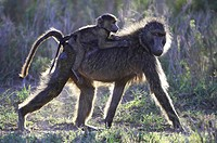 Chacma Baboon Papio cynocephalus baby riding on back of mother in late afternoon sun  Serengeti National Park, Tanzania  January 2006