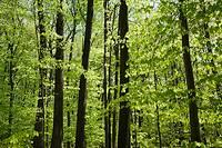 Deciduous tree forest at springtime, Laval, Quebec, Canada