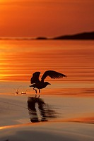 Herring gull Larus argentatus silhouetted in flight at sunset  August 2009