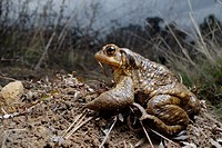 Common toad (Bufo spinosus) in Mariola mountains, Valencia, Spain