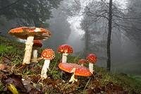Grupo de setas matamoscas  Fly agaric mushrooms  Amanita muscaria  Parque natural Monte Aloia, Tui, Pontevedra