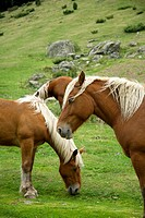Pyrenees horse grazing, tena valley, Spain