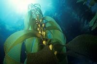 Sunlight streaming through Giant Kelp Macrocystis pyrifera, California Channel Islands, USA