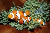 A family of three clown anemonefish, Amphiprion percula, living in a giant sea anemone, Heteractis magnifica  Uepi, Solomon Islands  Solomon Sea, Paci...