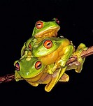 Three Red-Eyed Tree Frogs  Litoria chloris  Coffs Harbour, east coast NSW, Australia  After heavy summer rains, these frogs gather together in the hop...