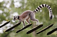 Ring-tailed Lemur Lemur catta, walking along tree ladder