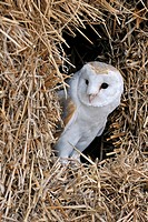 Barn owl Tyto alba in haystack / straw bale in barn, England, UK