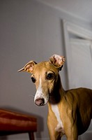 An Italian Greyhound pays strong attention to something out of frame