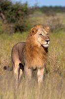 African lion Panthera leo - Male, Etosha National Park, Namibia