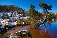 Australia, Tasmania, Cradle Mt - Lake St Clair National Park  Native bush reflected in the Wombat Pool on the Overland Track