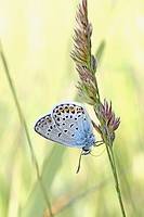 Silver-studded Blue, Plebejus argus hidden in deep grass  Male  Underwing markings clearly visible  Milovice, Czech Republic  Late evening shot when t...