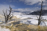 Dead trees and steaming travertine pools with snow at the Main Terrace at Mammoth Hot Springs Yellowstone Park in winter