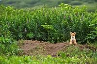 Red Fox (Vulpes vulpes) cubs, NcNeil Sanctuary, Alaska, USA