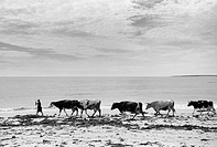 A woman walks her cattle home from grazing land behind Ladeira beach near Corrubedo and Ribeira in Galicia on Spains Atlantic coast  Corrubedo and Rib...