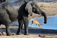 A Gentle Giant and a Graceful Impala at a waterhole  Loxodonta Africana and Aepyceros Melampus   Fall, March 2007   Tembe Elephant Park, Kwazulu-Natal...