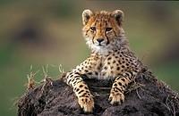 Cheetah in Massai Mara