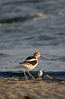 American Avocet parent with its chick at Middle Harbor Shoreline Park in Oakland, California, part of the network of East Bay Regional Parks, the larg...