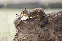 California Ground Squirrel (Spermophilus beecheyi) babies play fight atop a rock at Alameda´s Crown Beach, part of the East Bay Regional Parks Distric...