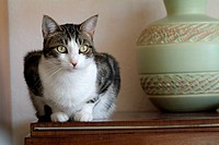 Portrait of a tabby cat sitting on a sideboard in a Sphinx-like pose.