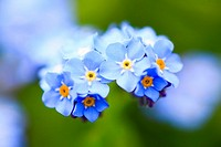 forget-me-not, Italy