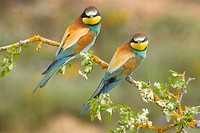 Beeater pair Merops apiaster