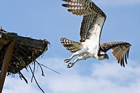 Osprey, Pandion haliaetus, flying from nesting platform  The Osprey is a juvenile as evidenced by its feathers being fringed with a pale buff  Fort My...