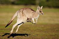 Australia, Tasmania, Port Sorell, Narawntapu National Park  Eastern Grey Kangaroo with Joey