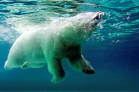 Polar Bear surfacing to breath while swimming underwater  Concept could be ´Coming up for Air´ or ´Relief´ or ´Take a Breath or Breather´