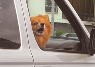 Pomeranian dog in car
