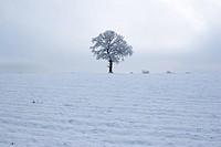English Oak tree Quercus robur in snow , England , UK