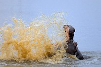 Hippo splashing water (hippopotamus amphibius), Kruger National Park, South Africa.