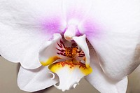 Close up of a white orchid flower