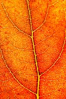 Persimmon leaf in autumn  Dyospiros kaki
