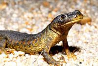 "Sharp-ribbed salamander """"Pleurodeles waltl"""" near of a pond in Valdemanco, Madrid, Spain"