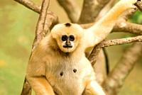 Young White Cheeked Gibbon staring at camera  Born this beige color, they turn black by age one to one and a half  Nomascus leucogenys