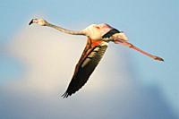 Greater Flamingo Phoenicopterus ruber flying at PN Ses Salines, Eivissa, Spain