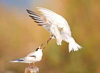 Adult feeding a young Common Tern Sterna hirundo at S´Albufera, Majorca, Spain