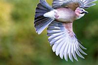 Jay Garrulus glandarius, in flight, Lower Saxony, Germany