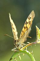 Speckled wood butterfly sunbathing Pararge aegeria