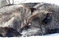 A grey wolf relaxes on the winter snow at Yellowstone National Park, Wyoming