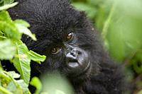 portrait of a young Mountain Gorilla, Gorilla gorilla beringei, sitting in rainforest, Volcano National Park, Rwanda